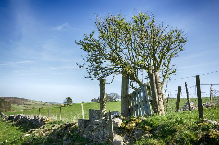A gnarled Hawthorn tree and drystone walling in near Dorchester in Dorset