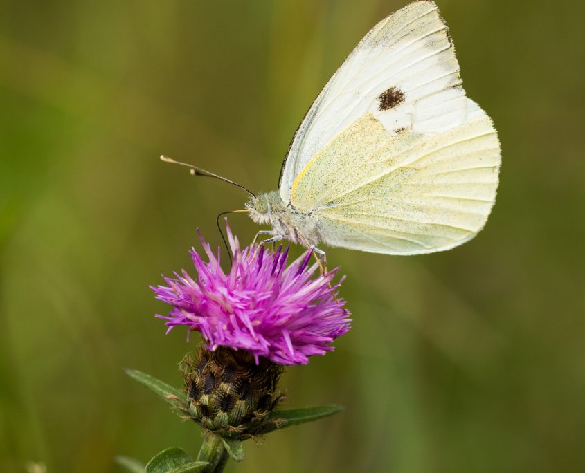 Butterfly sitting on a mauve thistle flower in a field in a nature reserve in Cranham, Essex